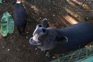 tapir, zoológico nacional, animales
