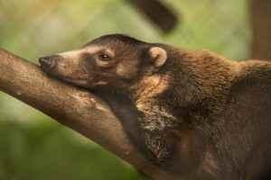 animales, zoológico nacional, pizote, coatí