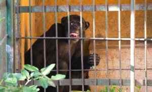 zoológico nacional, animales, chimpancé