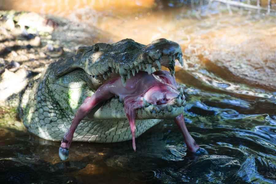 cocdrilo, zoológico nacional. Managua