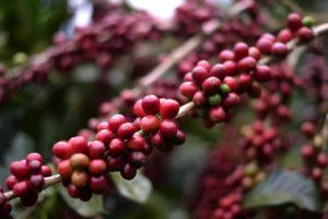 El café en Nicaragua
