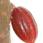 Herencia-de-Cacao